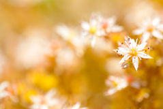Small spring flower Royalty Free Stock Photo