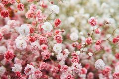 Small spring flowers abundantly branching almost from the base of the bush, almost spherical in shape. Used mainly for. Gypsophila is valued for openwork royalty free stock images