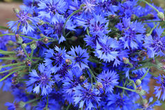 Small spring flowers blue and new Royalty Free Stock Image