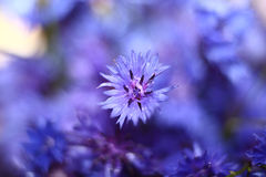 Small spring flowers purple fresh Stock Photo
