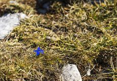 Gentian flower growing on a mountain stock image