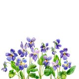 Purple spring flowers. A fragrant violets. Watercolor. Small spring purple flowers. A fragrant violets in the garden. Watercolor drawing on the white background Royalty Free Stock Image