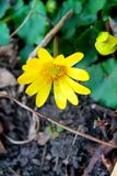 Small spring yellow flowers, the earliest flowers 3 royalty free stock image