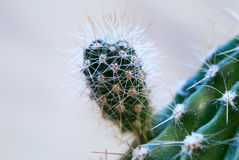 Small sprout of a cactus. Small sprout of a prickly cactus represented close up Royalty Free Stock Photos