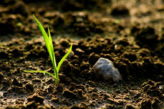 Small sprout in dry soil Royalty Free Stock Images