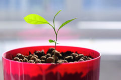 Seedling in a Flowerpot Stock Image
