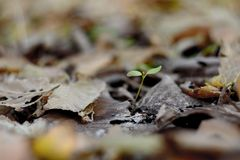 Small sprout in the forest. Small plant on the background of leaves in late autumn Stock Photography