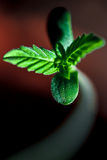 The small sprout of the hemp. The macro-photo of the flight of the hemp Royalty Free Stock Photos