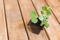 A small sprout pea . Spring has come stock photos