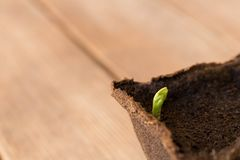 A small sprout pea . Spring has come royalty free stock images