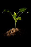 Small sprout of seedling with pile of topsoil Stock Image