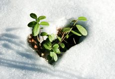 Small sprouts. Image of early sprout appearing from melting snowcover in spring Royalty Free Stock Images
