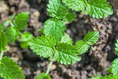 Small sprouts of medicinal plant Melissa officinalis germinate from the ground, close - up,. Spring landscape royalty free stock image