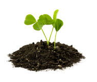 Small sprouts Royalty Free Stock Image