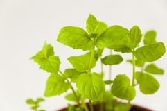 Spice. Small sprouts of spicy mint grass, on a light background, in a pot Royalty Free Stock Images