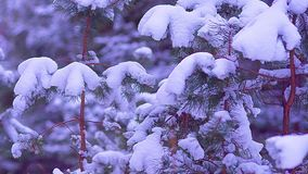 Small spruce backfilled with white snow swaying in the wind, a fabulous winter forest at night stock video footage