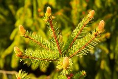 Small spruce branch. With small cones on it Stock Photo