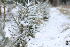 Small spruce covered snow in snowy tree nursery Royalty Free Stock Photo