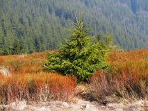 Small spruce Royalty Free Stock Image