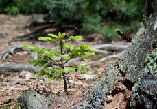 Small spruce Stock Photography