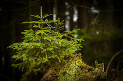 Small spruce Royalty Free Stock Photography