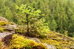 Small spruce Royalty Free Stock Images