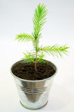 Small spruce seedling stock photos