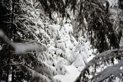 Small spruce in snowy forest Royalty Free Stock Photo
