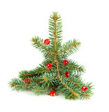 Small spruce tree Stock Images