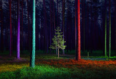 Small spruce tree in illuminated forest Stock Image