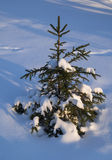 Small Spruce Tree in the Winter Forest Stock Images