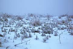 Small spruce trees and gras under snow royalty free stock images