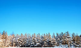 Small spruce trees in winter Stock Photography