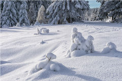 Small spruces covered with fresh snow Stock Photo