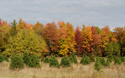 Small spruces in front of autumn trees Stock Images