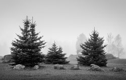 Small spruces in mourning fog Stock Photos
