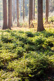 Small spruces Stock Image