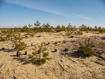 Small spruces and stumps on the sand hill Royalty Free Stock Photo