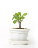 Small spurge in a pot, isolated Stock Photos
