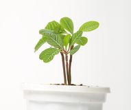 A small spurge in a pot,  Stock Images