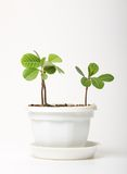 Small spurge in a pot,  Royalty Free Stock Photos