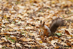 Small squirell in the park Stock Photography