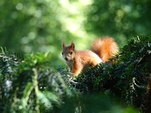 Small squirrel. Small red squirrel on a branch stock photography