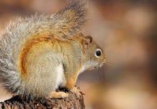 Small squirrel Stock Photos