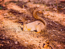 Small squirrel digs the ground. Stock Photo