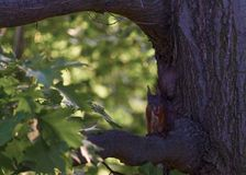 Small squirrel in dinner time. In a natural park royalty free stock photo