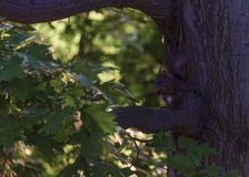 Small squirrel in dinner time. In a natural park stock photos