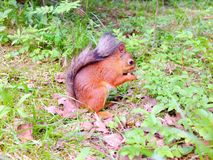 Small squirrel eating a nut on a ground Royalty Free Stock Photos