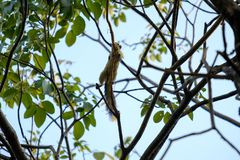 The small squirrel. Small squirrel is hanging on branches of tree Stock Photography