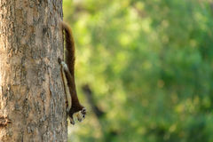 The small squirrel. Stock Images